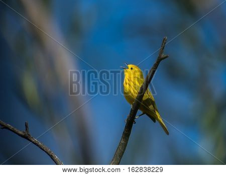 Yellow Warbler Calling and Singing Looking for a Mate