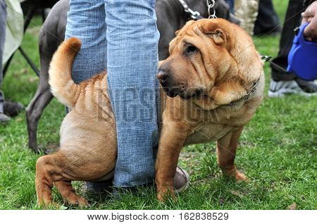 sharpei and master in the dog show in the meadow