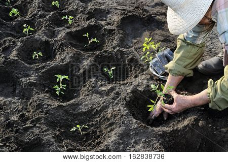 process of planting tomato seedlings in the vegetable garden