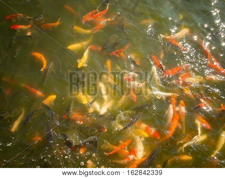 Among the Koi fish pond in the sights of one.