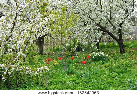 blooming cherry trees and flowers in the springtime