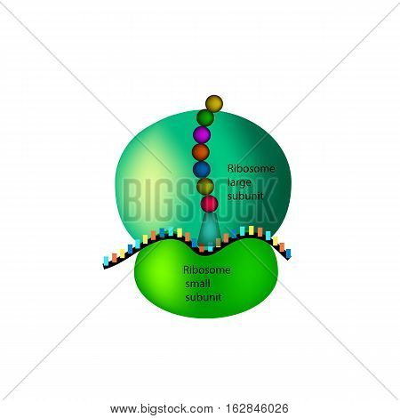 The structure of the ribosome Infographics. Vector illustration on isolated background