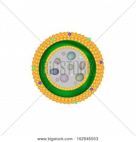 Structure of lysosomes Infographics. Vector illustration on isolated background