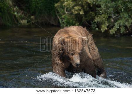 Alaskan Brown Bear On Falls
