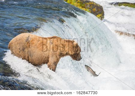 Alaskan Brown Bear Trying To Catch Salmon