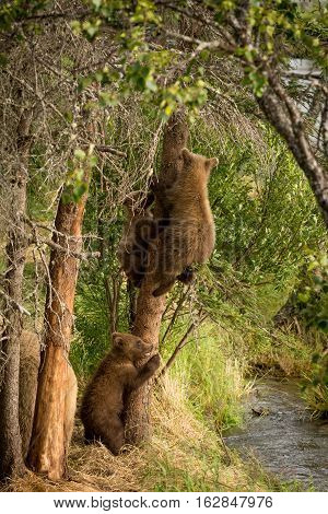 Brown Bear Cubs In A Tree