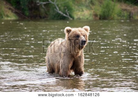 Brown Bear Sow In River