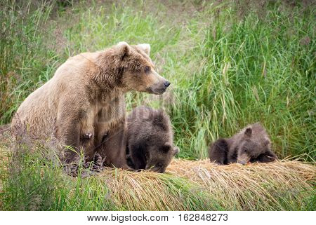 Alaskan Brown bear cubs and sow along the banks of the Brooks River
