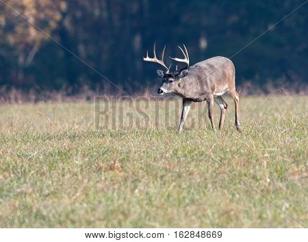 Large White-tailed Deer Buck In Meadow