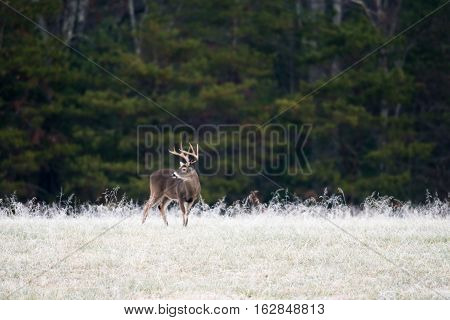 Large White-tailed Buck