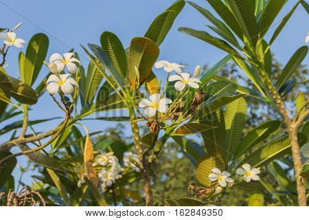 Plumeria white flower panicle in the tree soft focus blur background.