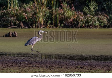 A Great Blue Heron Ardea herodias wading in a swampy wetland. Location is Manasquan Reservoir New Jersey USA.