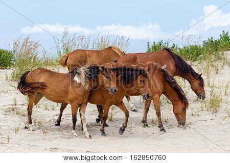 A group of wild ponies horses of Assateague Island on the beach in Maryland USA. These animals are also known as Assateague Horse or Chincoteague Ponies. They are a breed of feral ponies that live in the wild on an island off the coast of Maryland and Vir