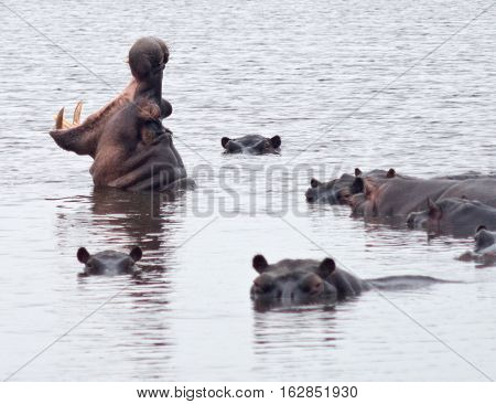 an image of a hippos in lake