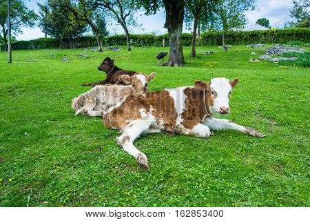 Three Calf Resting On The Green Lawn.