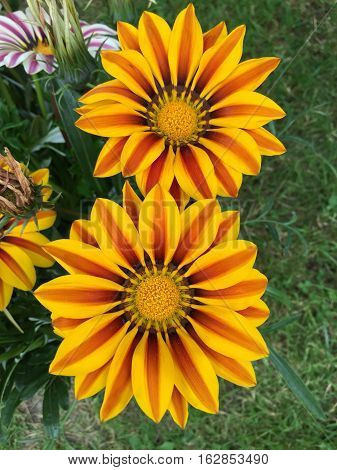 colorful gazania flowers blooming on sunny day