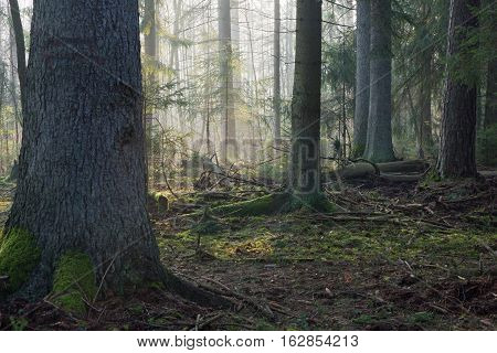 Coniferous stand in morning with pine and spruce some lying broken, Bialowieza Forest, Poland, Europe