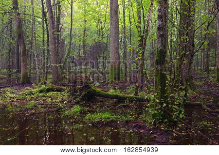 Early morning in deciduous stand and standing water around, Bialowieza Forest, Poland, Europe
