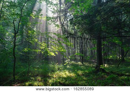 Misty deciduous stand in morning rain after with old trees in foreground, Bialowieza Forest, Poland, Europe