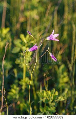 Wild Flower On A Background Of Grass
