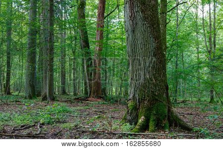Old moss wrapped oak and some in background against younger hornbeam trees in summer, Bialowieza Forest, Poland, Europe