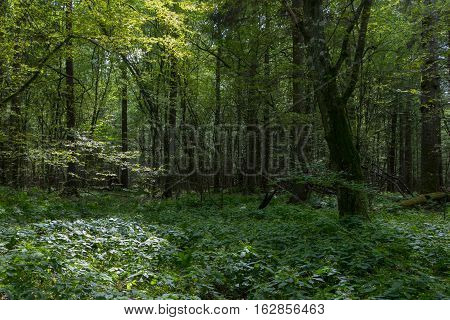 Deep shady deciduous stand with old hornbeam tree and impatiens parviflora around in summer, Bialowieza Forest, Poland, Europe
