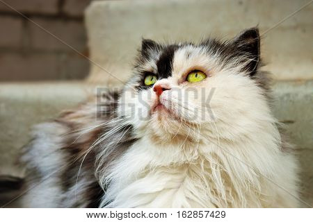 Beautiful persian calico cat with green eyes