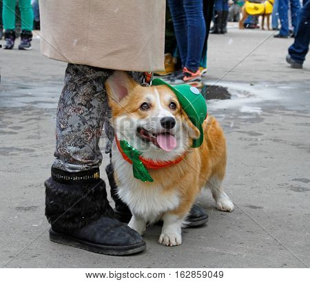 Moscow Russia - March 19 2016: Welsh Corgi at the St. Patrick's Day Parade in the park Sokolniki in Moscow