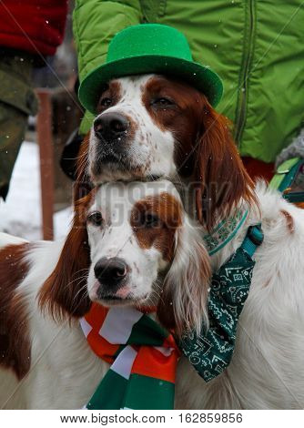 Moscow Russia - March 19 2016: Irish red and white setters at the St. Patrick's Day Parade in the park Sokolniki in Moscow
