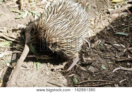 the echidna is looking for ants in the ground