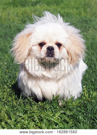 Puppy of breed pekingese on spring lawn