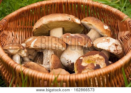 Boletus Edulis And Brown Cap Boletus. Fresh Forest Edible Mushrooms In Wicker Basket On Green Grass Outdoor Top View. Delicate Mushrooms.