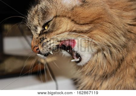 Hisses, Gapes, Grins. Muzzle Cat Large. Portrait. You Can See The Fangs, The Teeth. Large, Grey, Flu