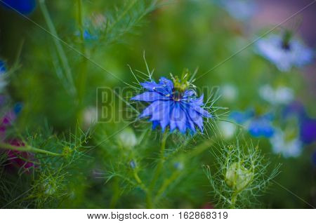 Nigella Sativa - Nature Blue And White Flowers