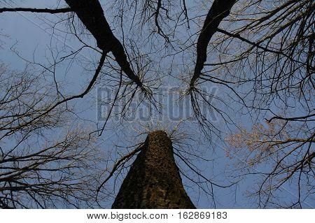Looking up oak trees in early winter