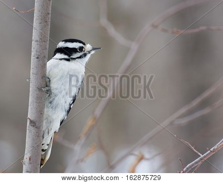 Downy Woodpecker perched on a tree branch.