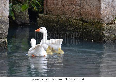 Mom and baby swans swimming along in the pools at San Miguel Regla Hacienda in Huasta de Ocampo, Hidalgo Mexico