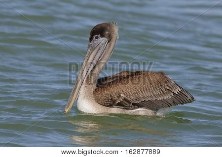 Immature Brown Pelican Floating In The Gulf Of Mexico