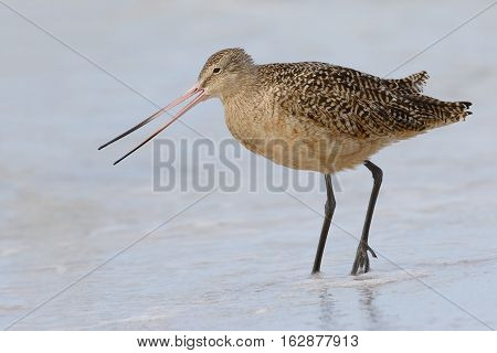 Marbled Godwit Foraging In Shallow Water - St. Petersburg, Florida