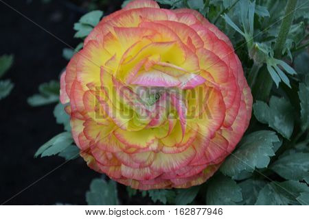 Lustrous tricolored (yellow, pink and white)  ranunculus seen in Xochimilco, Mexico