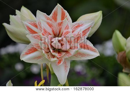 Exquisite amaryllis. White with pinkish-orange. Xochimilco Mexico