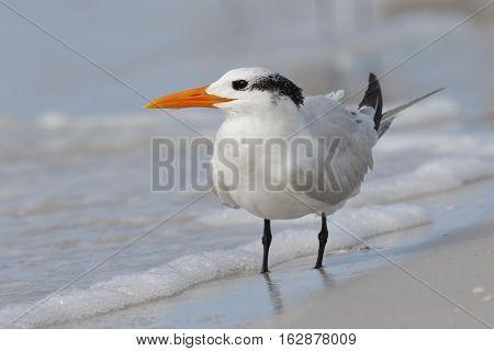 Royal Tern On A Gulf Of Mexico Beach - Florida