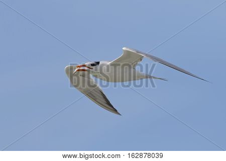Royal Tern Flying With A Fish In Its Beak