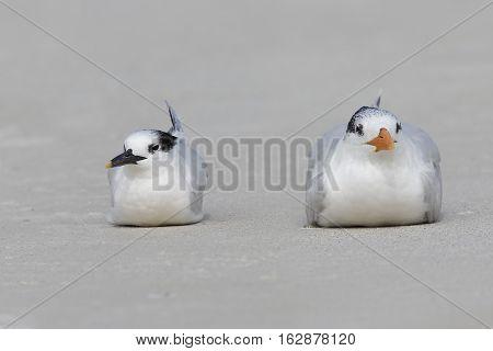 Royal Tern And Sandwich Tern Resting On A Florida Beach