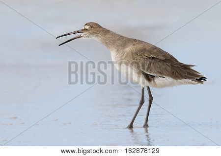 Willet Yawning On A Florida Beach In Fall