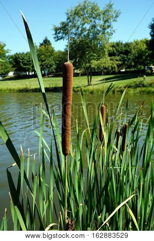 Common cattails (Typha latifolia), also called broadleaf cattails, bulrushes, great reedmace, cooper's reed, and cumbungi, grow in a small, artificial lake in Joliet, Illinois during September.
