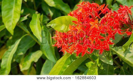 Ixora flower is a symbol of wisdom in Teacher's day Thailand