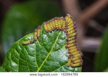 Cyclosia Panthona Caterpillars