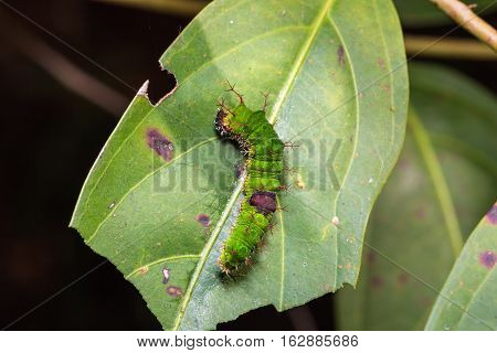 Colour Sergeant Caterpillar