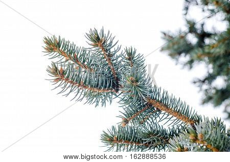 fir branch with needles against a gray winter sky